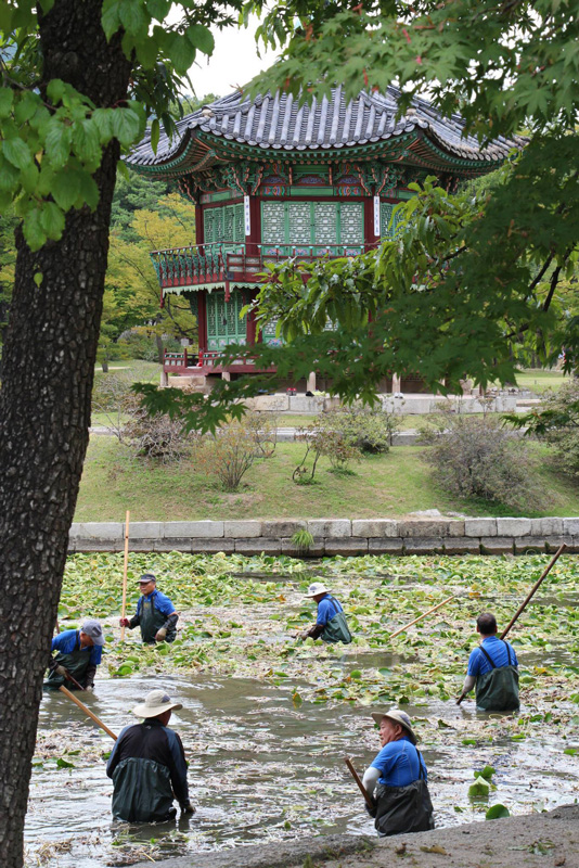 Lotus pond gardening. Gyeongbok palace grounds
